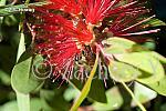 bottlebrush-DSC 1890-54798462-O