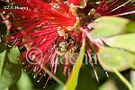 bottlebrush-DSC 1891-54798336-O